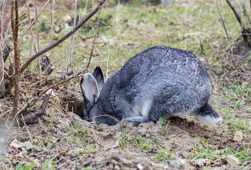 Why Do Rabbits Dig Holes? — Rabbit Care Tips