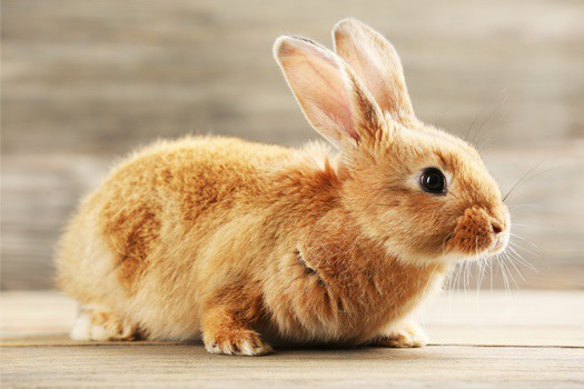 do rabbits get lonely without another rabbit?