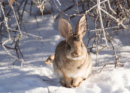 do rabbits hibernate in the winter?