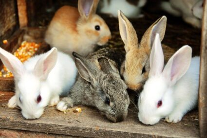do rabbits kill and eat their babies?