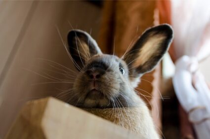 do rabbits need their whiskers?