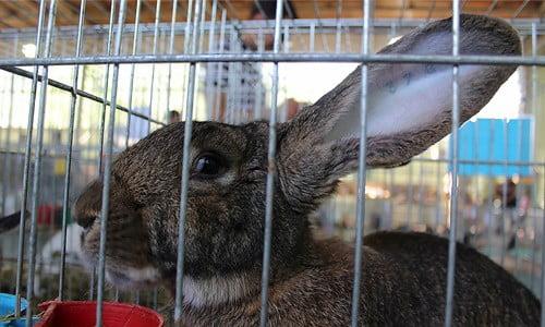 head tilt in rabbits