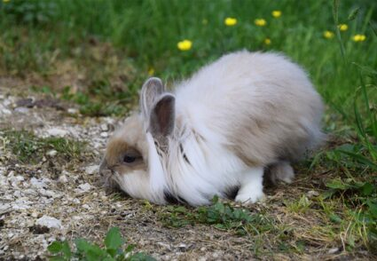 how long can a rabbit go without pooping?