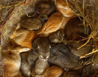 how many babies in a rabbit's first litter
