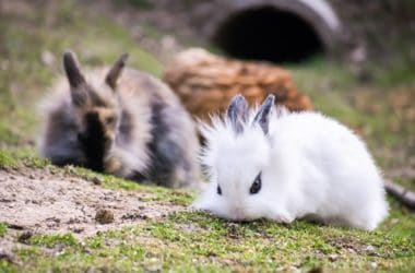 how to care for a Lionhead Rabbit