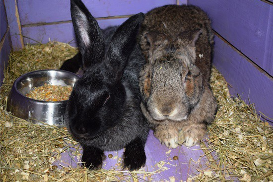 Flemish Giant Rabbits As Pets A Complete Care Guide Pictures