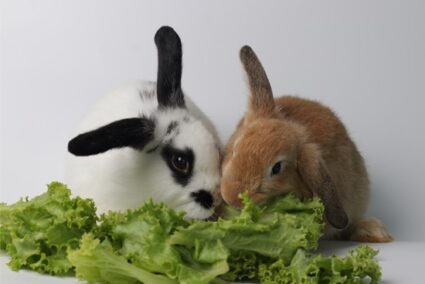 list of lettuce rabbits can eat