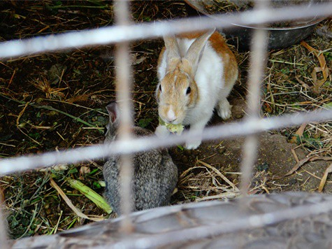 rabbit aggression towards other rabbits
