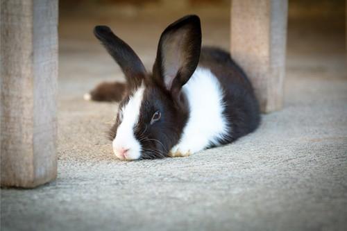 rabbit bleeding causes