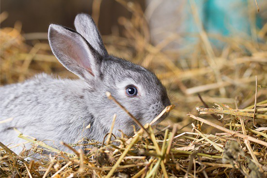 rabbit congestion