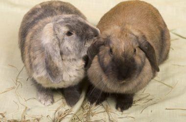rabbit grooming behavior