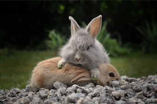 rabbits fighting for dominance