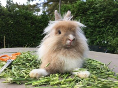 what Lionhead Rabbits can eat