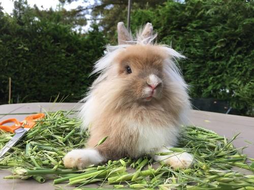 what Lionhead Rabbits can eat