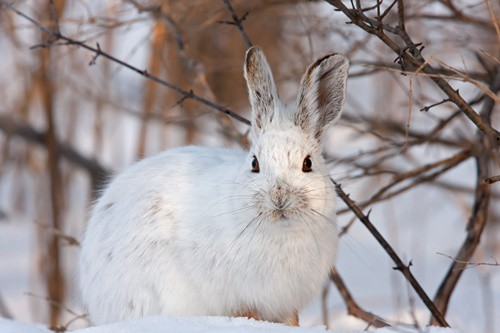 what happens to rabbits in the winter?