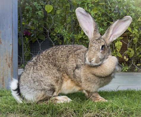 what is a flemish giant rabbit?