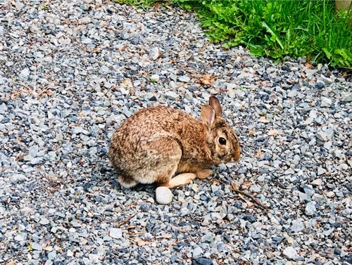 what kinds of insects do rabbits eat?