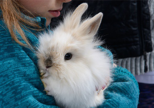 what temperature does a Lionhead Rabbit need?