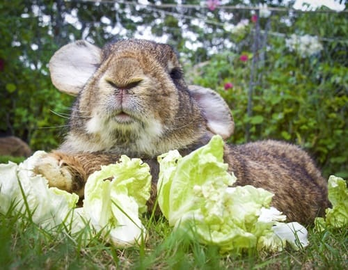 what to feed a flemish giant rabbit