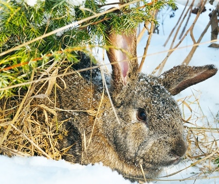 where do rabbits go in the winter?