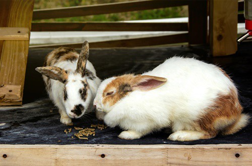 why can't rabbits be sick?
