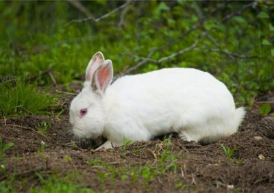 why do rabbits dig holes and then fill them in?