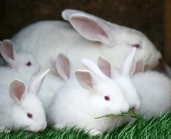 why does my rabbit keep killing her babies?