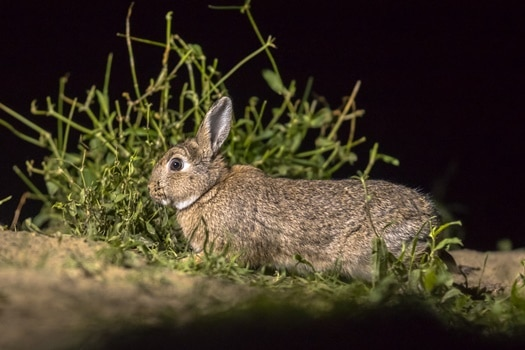 Do rabbits have good night vision?