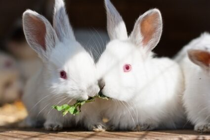Why do white rabbits have red eyes?