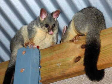 are possums dangerous to rabbits?