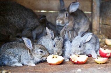 are rabbits allowed to eat apples?