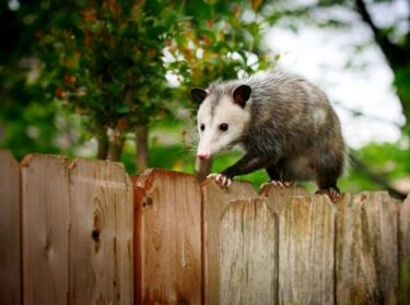 do possums kill rabbits?