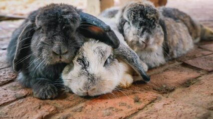 do rabbits close their eyes when sleeping?