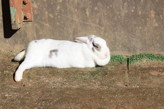 do rabbits play dead when scared?