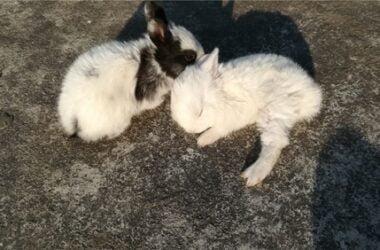 do rabbits pretend to be dead?
