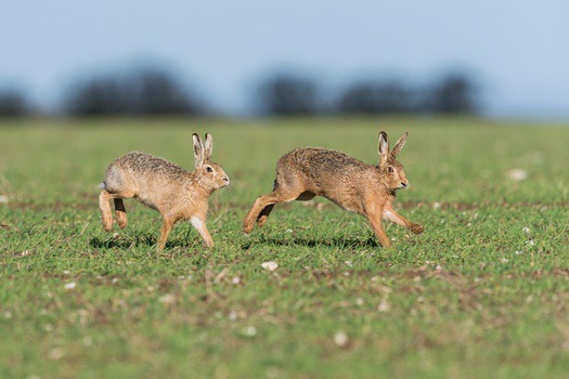 do wild rabbits kill each other?