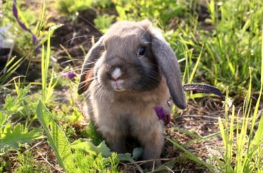 how big does a dwarf rabbit grow?