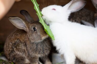how long do domestic rabbits live as pets?