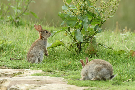 how long do rabbits live in the wild?