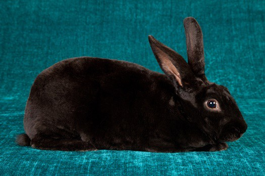 how long do rex rabbits live?