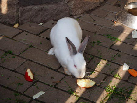 how to give rabbits apples