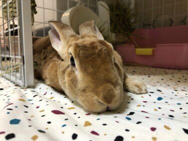 is a rex rabbit a good pet?