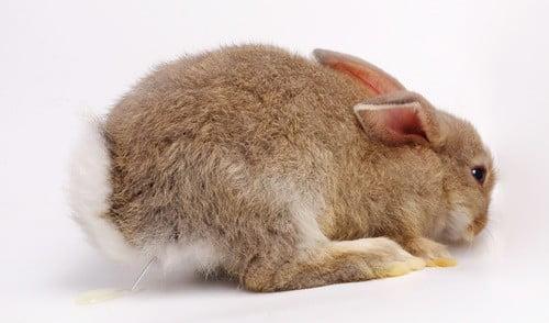 rabbit has blood in urine