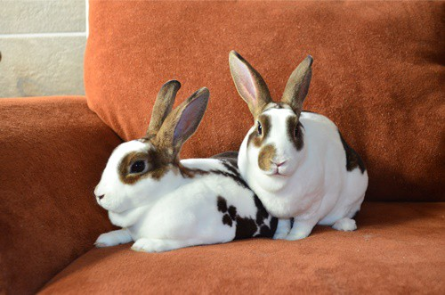 rex rabbits as pets