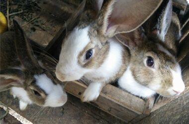 weird noises rabbits make