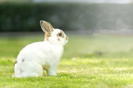 what's the biggest dwarf rabbit?