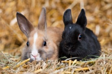 what age can rabbits get pregnant?