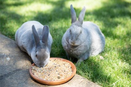 what do rex rabbits like to eat?
