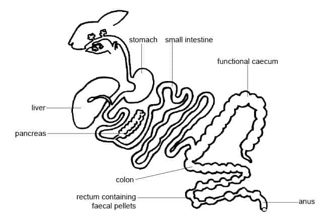 Rabbit_Digestion_Diagram