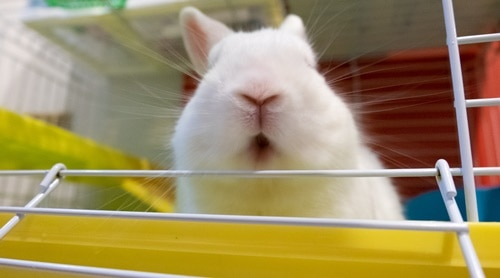 Why do rabbits scream when they die?